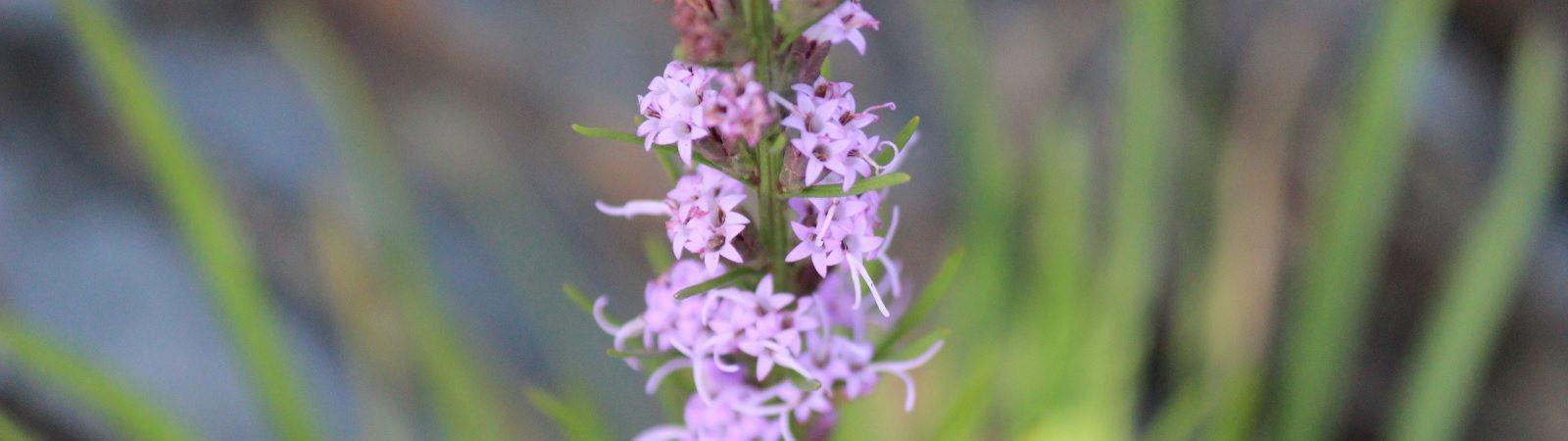 ocoee river wild flower